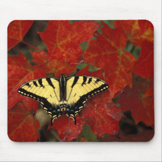 Michigan, Wetmore. Tiger Swallowtail on maple Mouse Pad