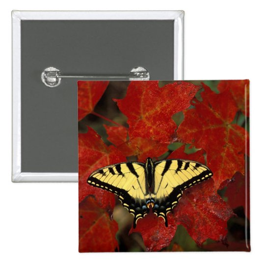 Michigan, Wetmore. Tiger Swallowtail on maple Pinback Button
