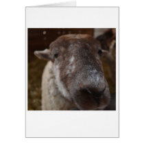 Mick, the Hog Island Sheep Note Card