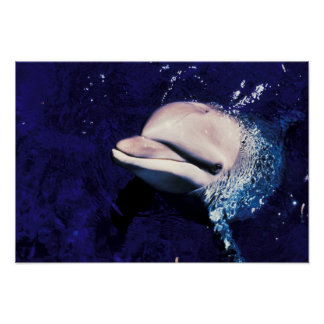 Micronesia, Palau Bottlenose dolphin Tursiops Poster