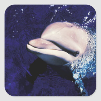 Micronesia, Palau Bottlenose dolphin Tursiops Square Sticker
