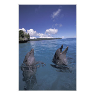 Micronesia, Palau Bottlenose dolphins Photograph