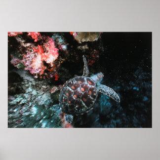 Micronesia, Palau, View of Loggerhead Sea Turtle Poster