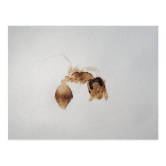 Microscope photo of an ant postcard