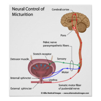 Micturition control, labeled drawing. poster