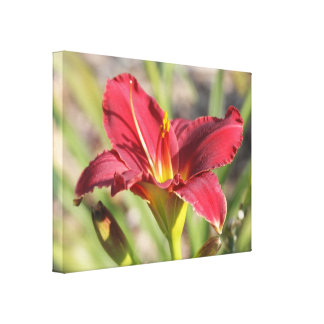 Midday Sunlight Red Daylily: Wide Angle View Canvas Print