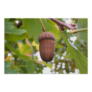 Mighty Acorn in an Oak Tree Poster