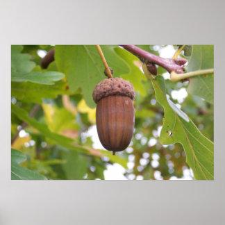Mighty Acorn in an Oak Tree Poster