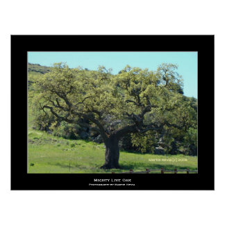 """""""Mighty Live Oak"""" Posters"""