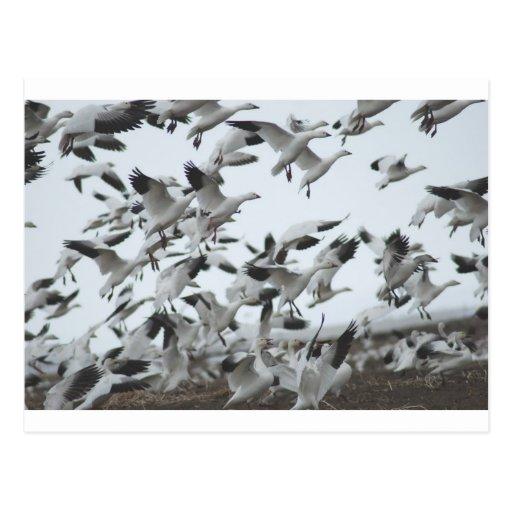 Migración de los gansos de nieve tarjeta postal