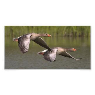 Migración gris canadiense hermosa de los gansos cojinete
