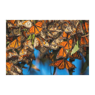 Migrating monarch butterflies cling to leaves stretched canvas prints