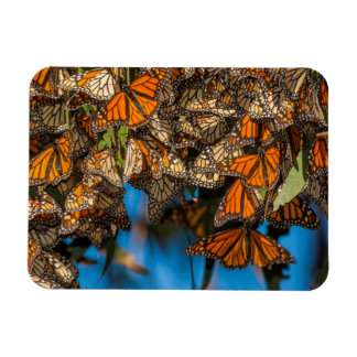 Migrating monarch butterflies cling to leaves magnet