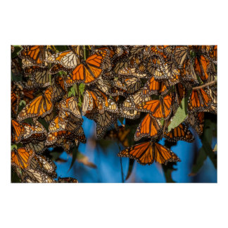 Migrating monarch butterflies cling to leaves poster