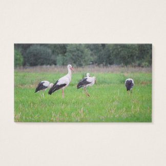 Migrating white storks, ciconia, in a meadow business card