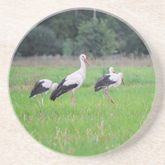 Migrating white storks, ciconia, in a meadow drink coaster