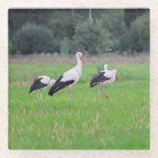 Migrating white storks, ciconia, in a meadow glass coaster