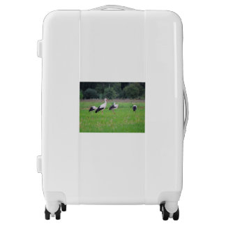 Migrating white storks, ciconia, in a meadow luggage
