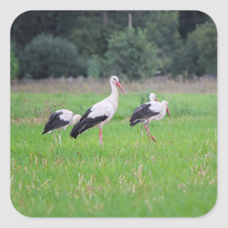 Migrating white storks, ciconia, in a meadow square sticker
