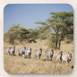 Migrating zebra, Tanzania Coasters