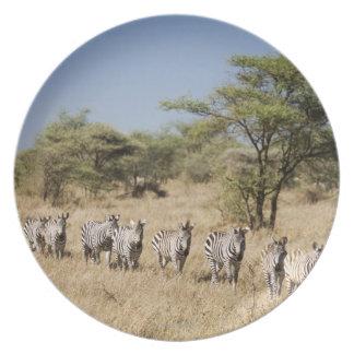 Migrating zebra, Tanzania Dinner Plates
