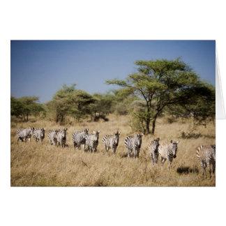 Migrating zebra, Tanzania Greeting Card