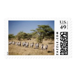 Migrating zebra, Tanzania Postage