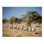 Migrating zebra, Tanzania Postcard