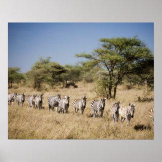 Migrating zebra, Tanzania Poster