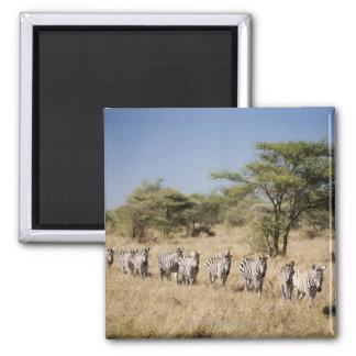 Migrating zebra, Tanzania Refrigerator Magnet