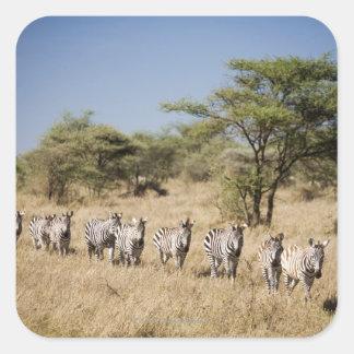 Migrating zebra, Tanzania Square Sticker