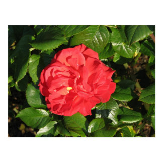 Mikado Hybrid Tea Rose 007 Postcard