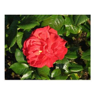 Mikado Hybrid Tea Rose 007 Postcard
