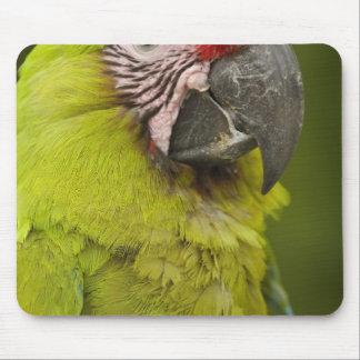 Military macaw (Ara militaris) CAPTIVE. Amazon 2 Mouse Pad