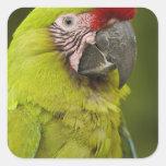 Military macaw (Ara militaris) CAPTIVE. Amazon 2 Square Sticker