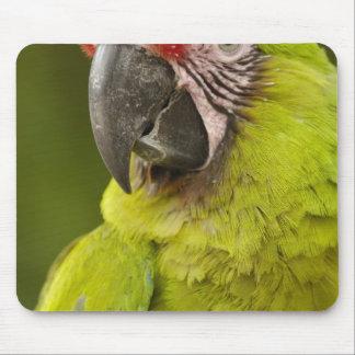 Military macaw (Ara militaris) CAPTIVE. Amazon Mouse Pad