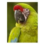 Military macaw (Ara militaris) CAPTIVE. Amazon Postcard