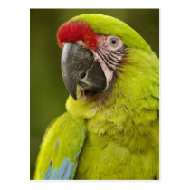 Military macaw (Ara militaris) CAPTIVE. Amazon Postcard
