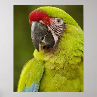 Military macaw (Ara militaris) CAPTIVE. Amazon Poster