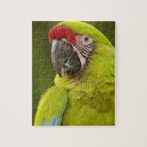 Military macaw (Ara militaris) CAPTIVE. Amazon Jigsaw Puzzle