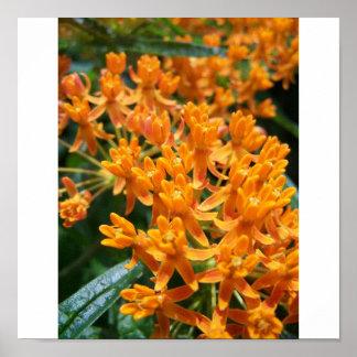 Milkweed anaranjado de Jocelyn Burke Póster