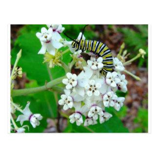 Milkweed and Monarch Postcards