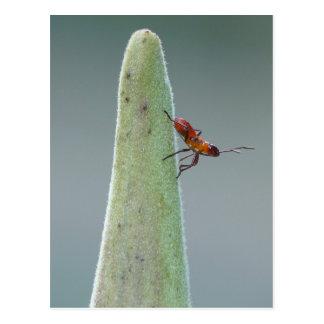 Milkweed Bug Nymph Postcard