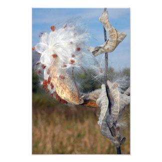Milkweed Photo Print