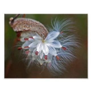 Milkweed Pod and Seeds Photo
