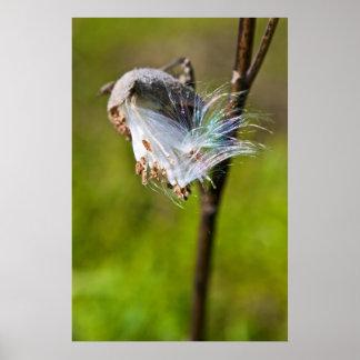 Milkweed Seedpod Póster
