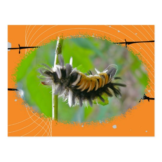 Milkweed Tussock Moth Caterpillar Orange Items Postcard