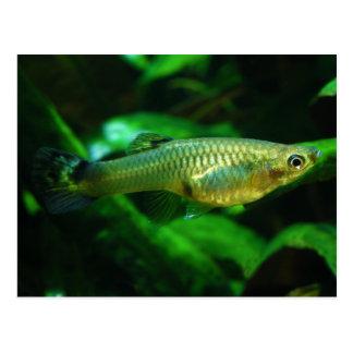Millionfish or Guppy Poecilia Reticulata Postcard