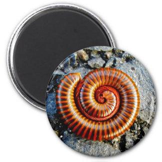 Millipede Trigoniulus Corallinus Curled Arthropod 2 Inch Round Magnet