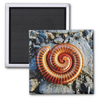 Millipede Trigoniulus Corallinus Curled Arthropod 2 Inch Square Magnet